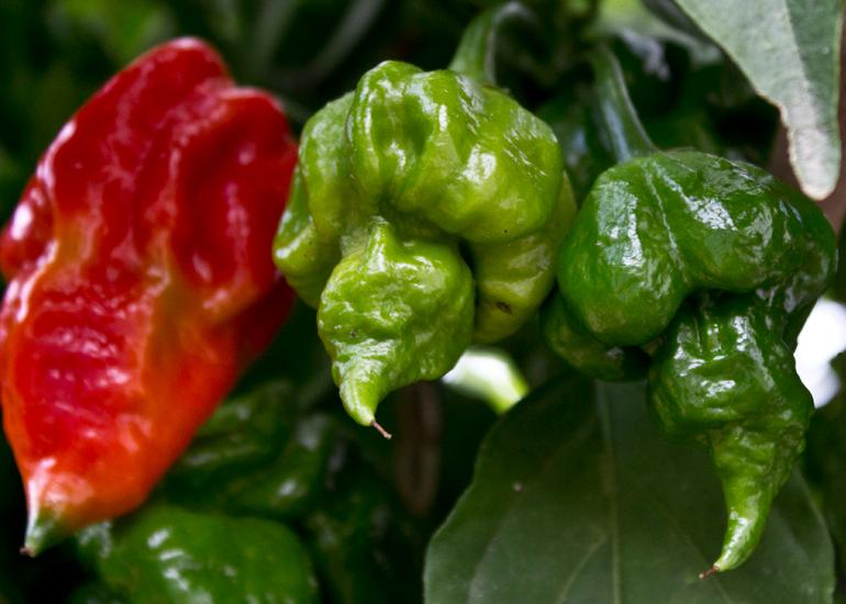 ricetta salsa piccante Trinidadscorpion